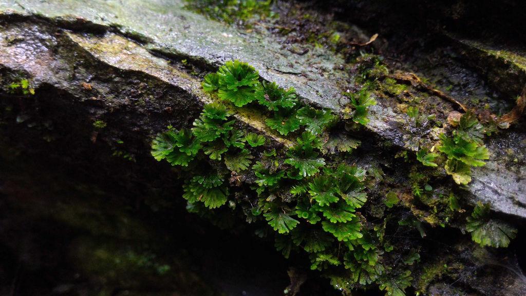 21.膜蕨科假脈蕨屬.jpg