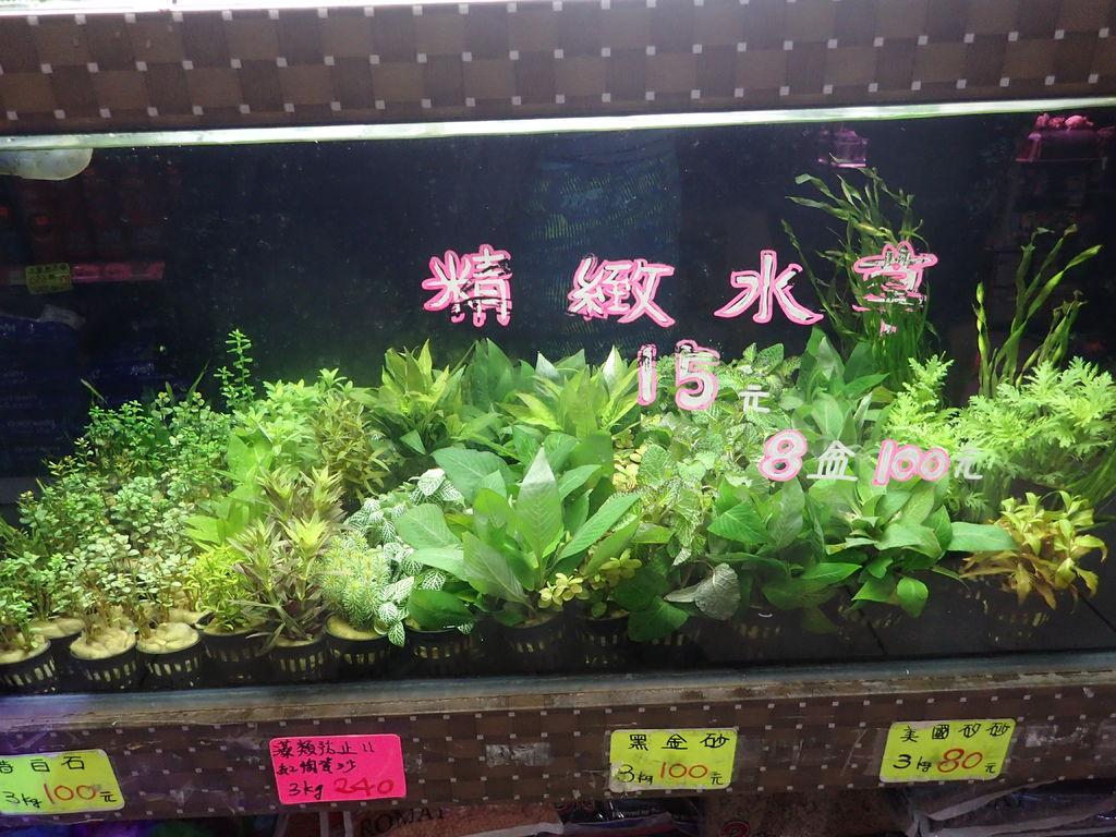 盆草2.JPG