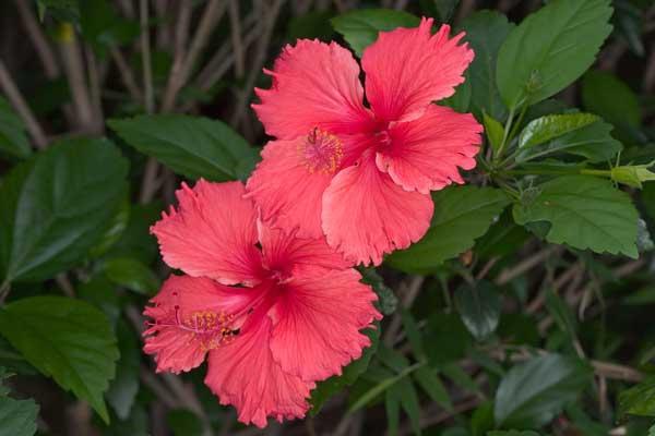 Hibiscus_rosa-sinensis_3722