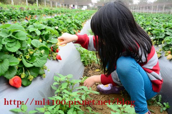 採草莓20150227