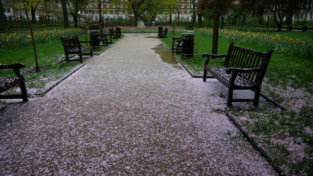 櫻花瓣落滿地