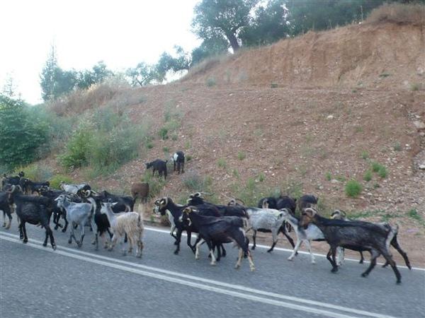 開車開一開羊群在路上走
