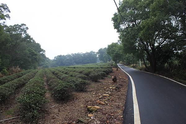 1112銅鑼自行車道杭菊IMG_7128 (4).JPG