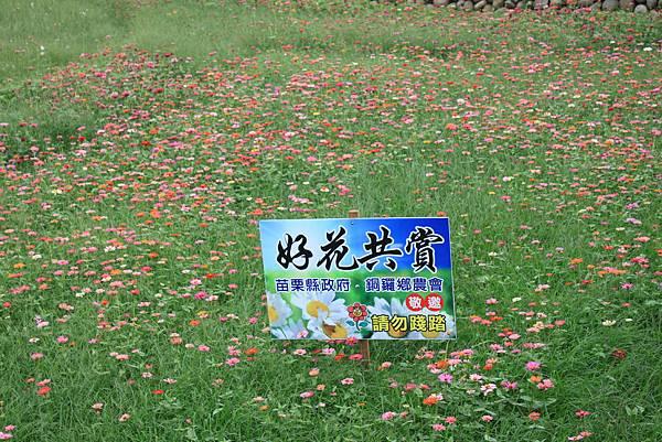1112銅鑼自行車道杭菊 (69).JPG