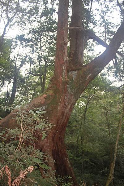 1110尖石水田山及北得拉曼神木 (70)