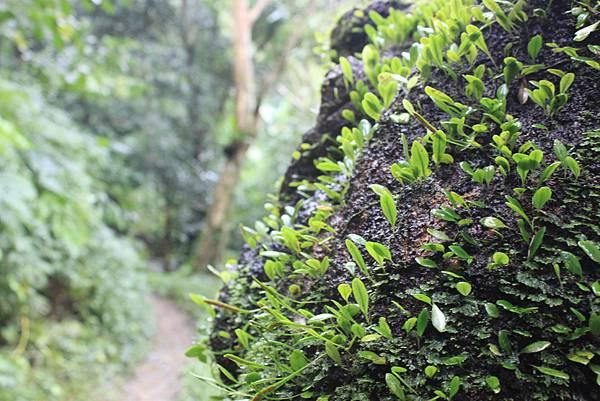 1223雨天的烏來紅河谷步道 (10)