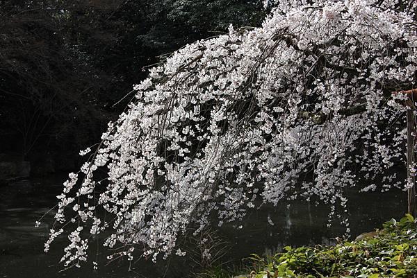 0326京都御苑賞櫻 (43).JPG