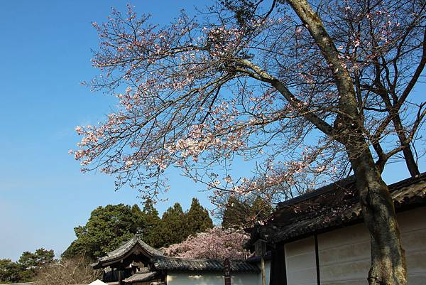 0327京都醍醐寺賞櫻 (7).JPG