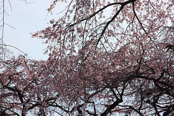 0327京都醍醐寺賞櫻 (27).JPG