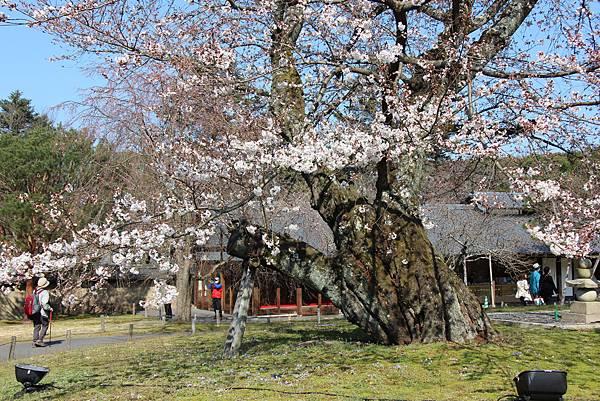 0327京都醍醐寺賞櫻 (51).JPG
