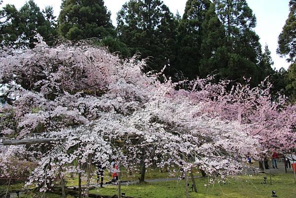 0327京都醍醐寺賞櫻 (72).JPG