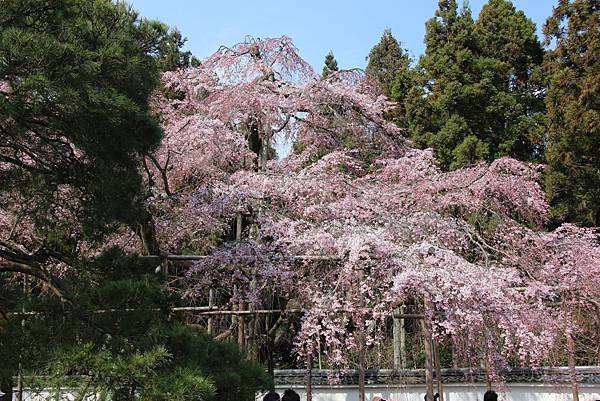 0327京都醍醐寺賞櫻 (76).JPG