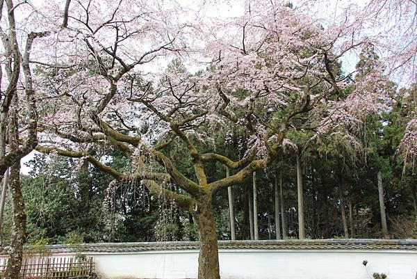 0327京都醍醐寺賞櫻 (88).JPG