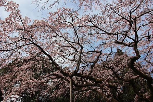 0327京都醍醐寺賞櫻 (91).JPG