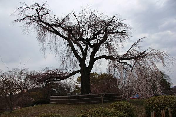 0327京都八阪神社、花見小路 (5).JPG