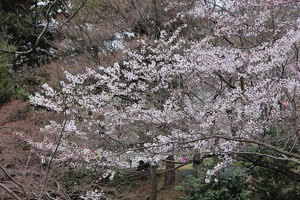 0327京都八阪神社、花見小路 (8).JPG