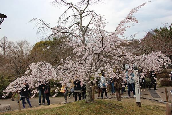 0327京都八阪神社、花見小路 (11).JPG