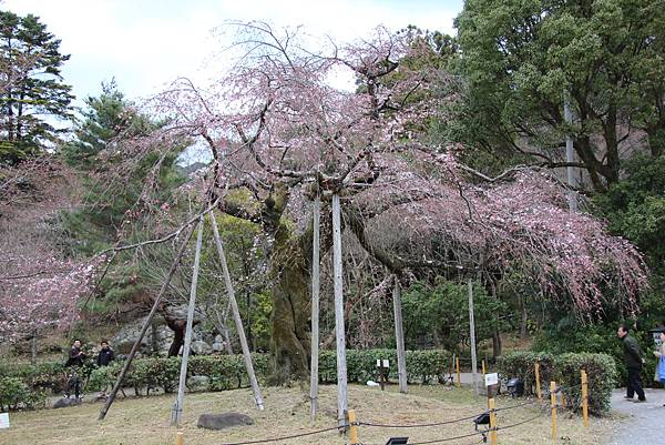 0327京都八阪神社、花見小路 (12).JPG