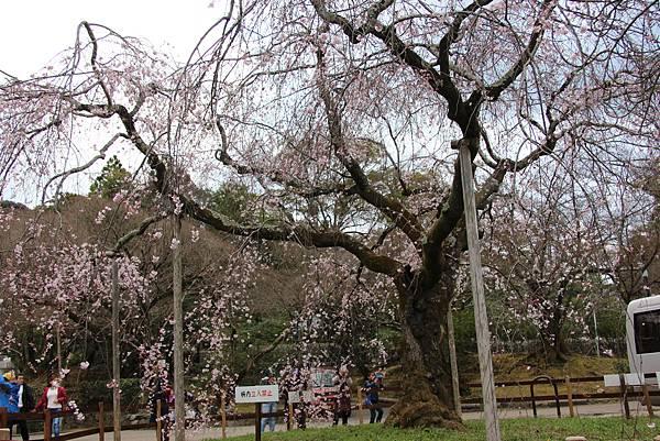 0327京都八阪神社、花見小路 (13).JPG