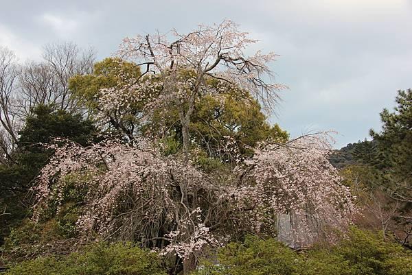 0327京都八阪神社、花見小路 (14).JPG