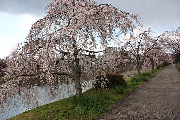 0328鴨川櫻花 (11).JPG