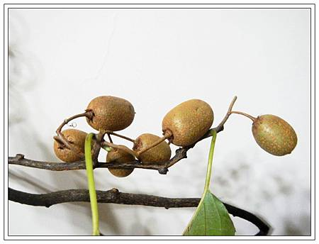 台灣獼猴桃3.JPG
