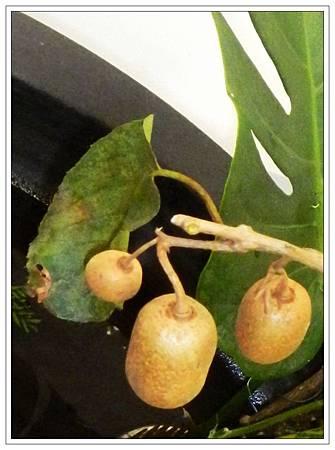 台灣獼猴桃.jpg
