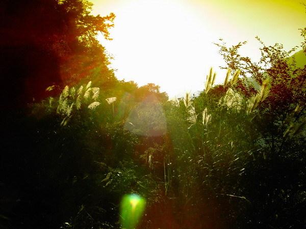 古道54-下午四點的陽光和蘆葦
