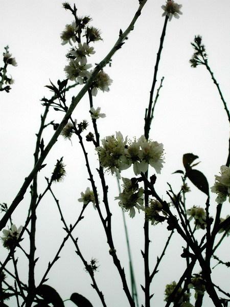 05 櫻花