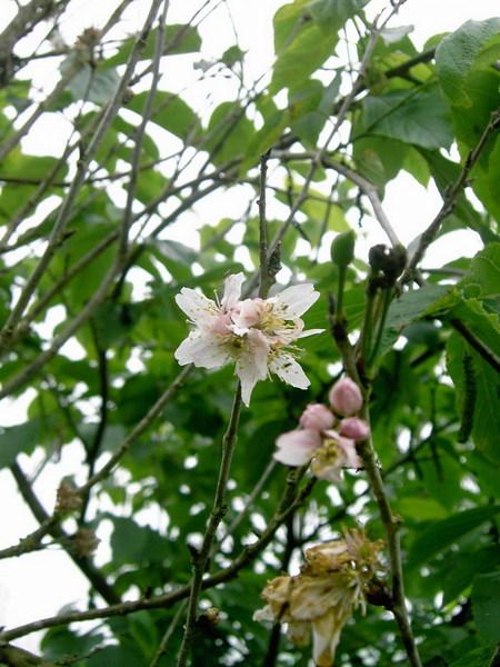 06 櫻花