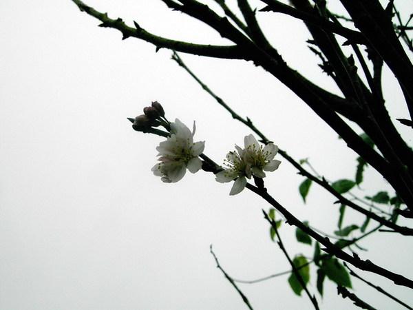 07 櫻花