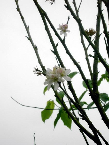 08 櫻花