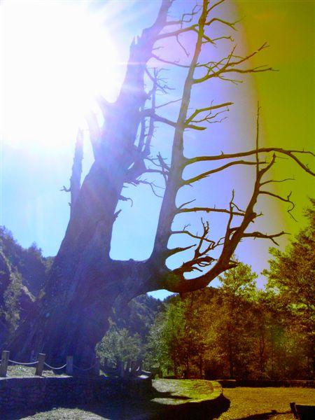 夫妻樹10