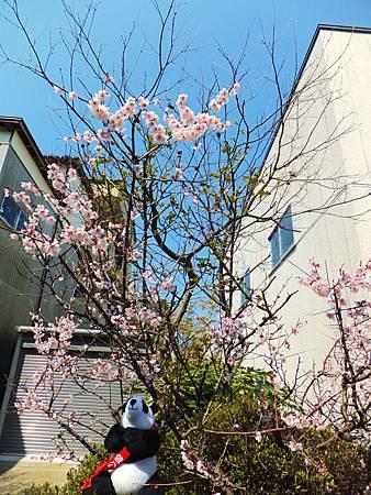 貓熊襪娃舒暢地在春光中賞櫻
