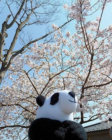 看到貓熊襪娃賞櫻滿意的微笑了嗎