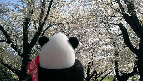 哇!滿山櫻花吹雪,美不勝收