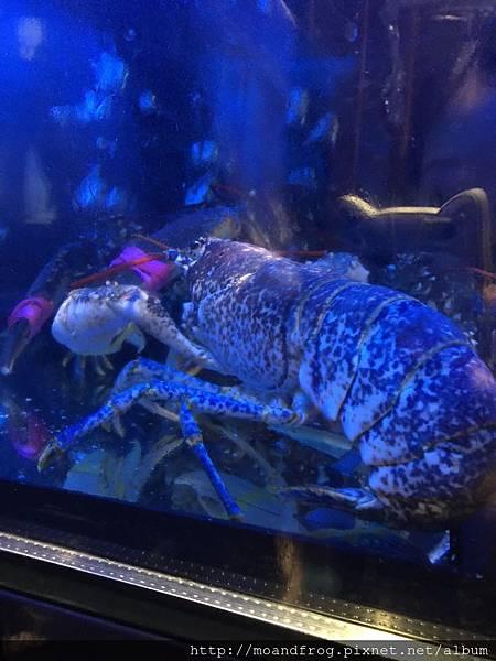 活跳跳藍龍蝦自己挑