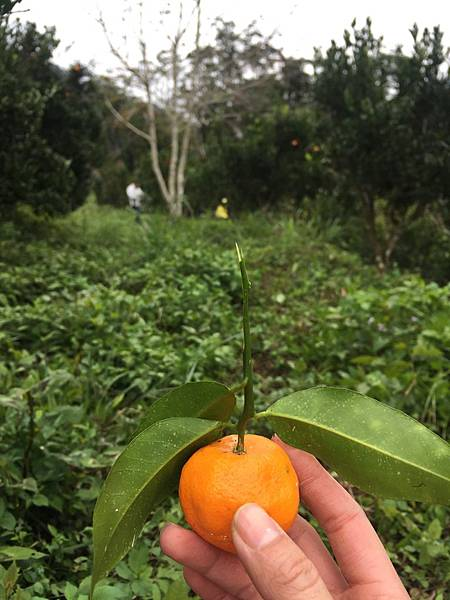 20170211烏來山上採橘子