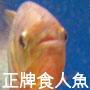 正牌食人魚