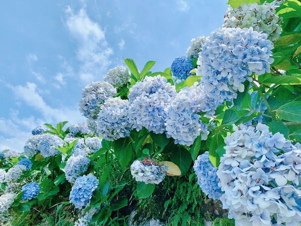 大梯田花卉生態農場|陽明山竹子湖|繡球花|賞花交通.jpg