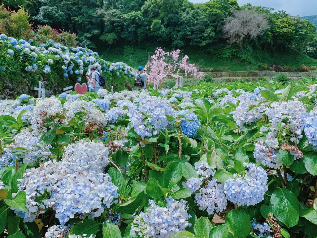 大梯田花卉生態農場|陽明山竹子湖大眾交通工具|繡球花|賞花.jpg