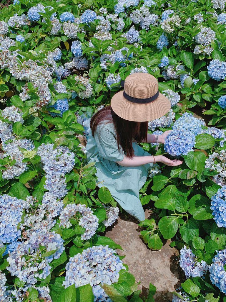 大梯田花卉生態農場|陽明山竹子湖|繡球花19.jpg