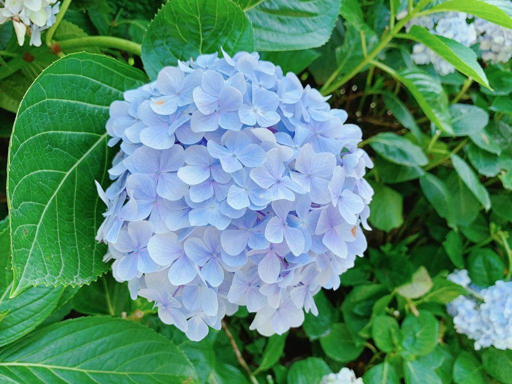大梯田花卉生態農場|繡球花|陽明山竹子湖交通.jpg