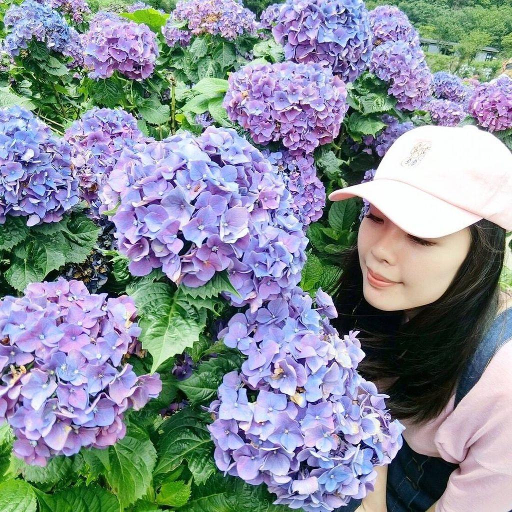 繡球花景點Hydrangea|台北陽明山.jpg