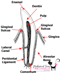 Tooth Anatomy.jpg