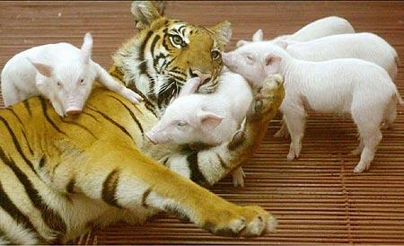 tiger & pigs