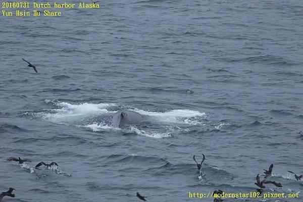 20160731Dutch harbor Alaska894A4503 (640x427).jpg