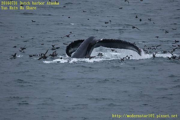 20160731Dutch harbor Alaska894A4724 (640x427).jpg