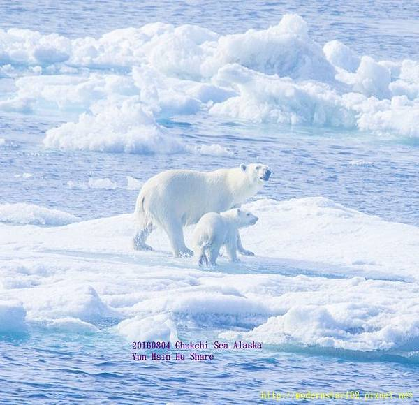20160804Chukchi Sea polar bear2894A9299-1 (640x618).jpg