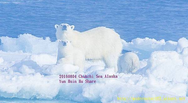 20160804Chukchi Sea polar bear3894A9817-1 (640x352).jpg